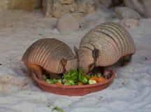 Zwei Gürteltiere, die Gemüse essen Stockbild