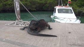 Zwei Galapagos-Leguane auf Hintergrund von Meer und Boot auf Santa Cruz Island stock video footage