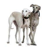 Zwei Galgo espanol Hunde, stehend Lizenzfreie Stockbilder
