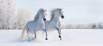 Zwei galoppierende weiße Ponys Lizenzfreie Stockfotografie