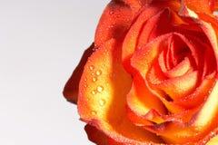 Zwei gefärbt stiegen - zweifarbige Rose Lizenzfreie Stockfotografie