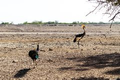Zwei gehen gekröntes Kräne Balearica-regulorum in einen Safari-Park auf Sir Bani Yas Island, Abu Dhabi, Arabische Emirate stockfotografie