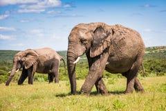 Zwei gehende afrikanische Elefanten Lizenzfreies Stockbild