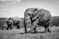 Zwei gehende afrikanische Elefanten B&W Stockbild