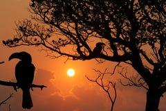 Zwei gelbe berechnete Horn-Rechnungsvögel bei Sonnenuntergang Stockbild