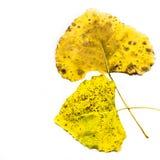 Zwei gelbe Blätter Stockbild