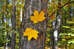 Zwei gelbe Blätter des Herbstes auf einem Baumstamm Rot und Orange färbt Efeublattnahaufnahme lizenzfreies stockfoto