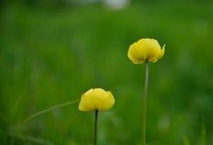 Zwei gelbe Blumen stockbilder