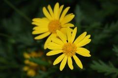 Zwei gelbe Blumen Stockfoto