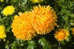 Zwei gelbe Chrysanthemen Stockfoto