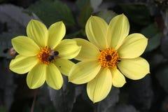 Zwei gelbe Dahlienblumen mit einem Insekt Lizenzfreies Stockfoto