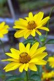 Zwei gelbe Gänseblümchen-Blumen Stockfotos