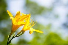 Zwei gelbe Lilienblumen Lizenzfreie Stockbilder