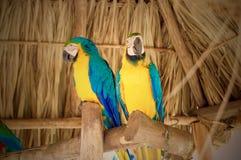 Zwei gelbe Papageien Stockbild