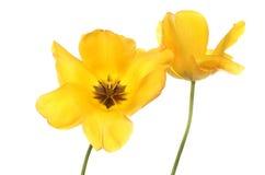 Zwei gelbe Tulpen Lizenzfreies Stockfoto