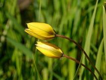 Zwei gelbe Tulpen Stockfoto