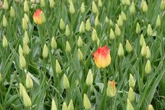Zwei gelbe Tulpen sind auf einem Gebiet mit unreifen Tulpen wachsend Stockbilder