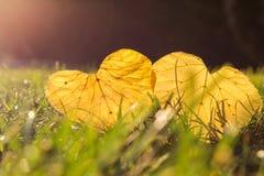 Zwei gelber Herbstlaub in Form Herz, das auf Gras im frühen moning Sonnenschein liegt lizenzfreies stockbild