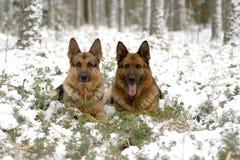 Zwei Gemany Schäferhund stockfotos