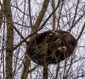 Zwei gemeine Waschbären vertraut zusammen schlafend hoch oben in einem Baum, tropisches Tier von Amerika lizenzfreie stockbilder