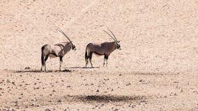 Zwei Gemsbokantilopen, Oryx Gazella, stehend in der trockenen staubigen Wüste, Namibia, Afrika stockbilder