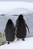 Zwei Gentoo-Pinguine, die stehen, drehend ihr Stockbilder