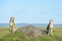 Zwei Gepard Acinonix-jubatus auf Hügel Lizenzfreie Stockbilder