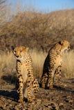 Zwei Gepard im Busch, Namibia lizenzfreies stockbild