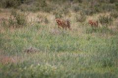 Zwei Geparde, die in das Gras gehen Lizenzfreies Stockbild