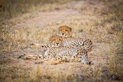 Zwei Geparde, die in das Gras legen Lizenzfreies Stockbild