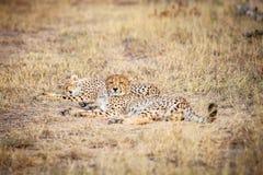 Zwei Geparde, die in das Gras legen Lizenzfreie Stockbilder