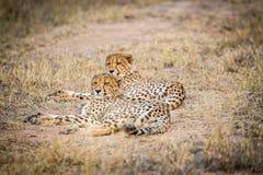 Zwei Geparde, die in das Gras legen Lizenzfreie Stockfotografie