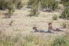 Zwei Geparde, die in das Gras legen Stockbild