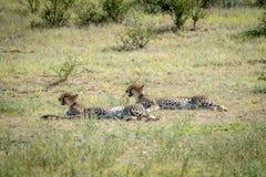 Zwei Geparde, die in das Gras legen Stockfoto