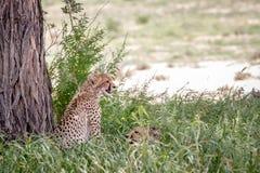 Zwei Geparde im hohen Gras unter einem Baum Stockbild