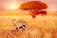 Zwei Geparde im Nationalpark Serengeti Stockfotos