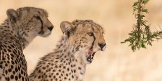 Zwei Geparde im Schatten Lizenzfreie Stockbilder