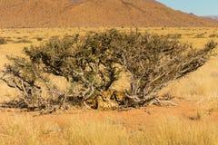 Zwei Geparde Namibia Lizenzfreies Stockbild