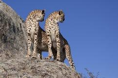 Zwei Geparden auf einem Felsen Stockbild