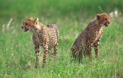 Zwei Gepardjunge Lizenzfreie Stockfotografie