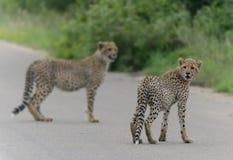 Zwei Gepardjunge in Kruger-Park stockfotografie