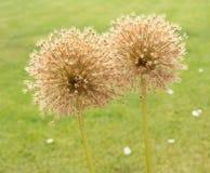 Zwei geschraubte Blüten Lauch giganteum stockfotos