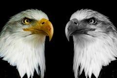 Zwei Gesichtsadler mit schwarzem Glanz Haliaeetus albicilla Lizenzfreie Stockfotos