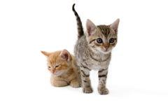 Zwei gestreifte Kätzchen, die sich hinlegen lizenzfreie stockfotografie
