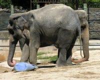 Zwei gingen Elefanten voran Lizenzfreies Stockfoto