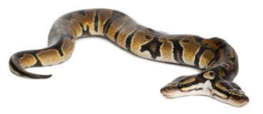 Zwei gingen königliche Pythonschlange oder Kugel-Pythonschlange voran stockbild