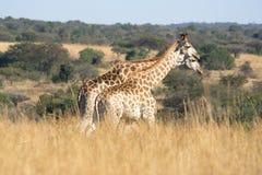 Zwei Giraffen Stockfoto