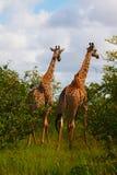 Zwei Giraffen Stockbild