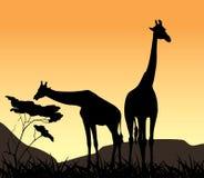 Zwei Giraffen auf einem Hintergrund des Sonnenuntergangs Stockbilder