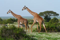 Zwei Giraffen in der afrikanischen Savanne Lizenzfreie Stockfotos